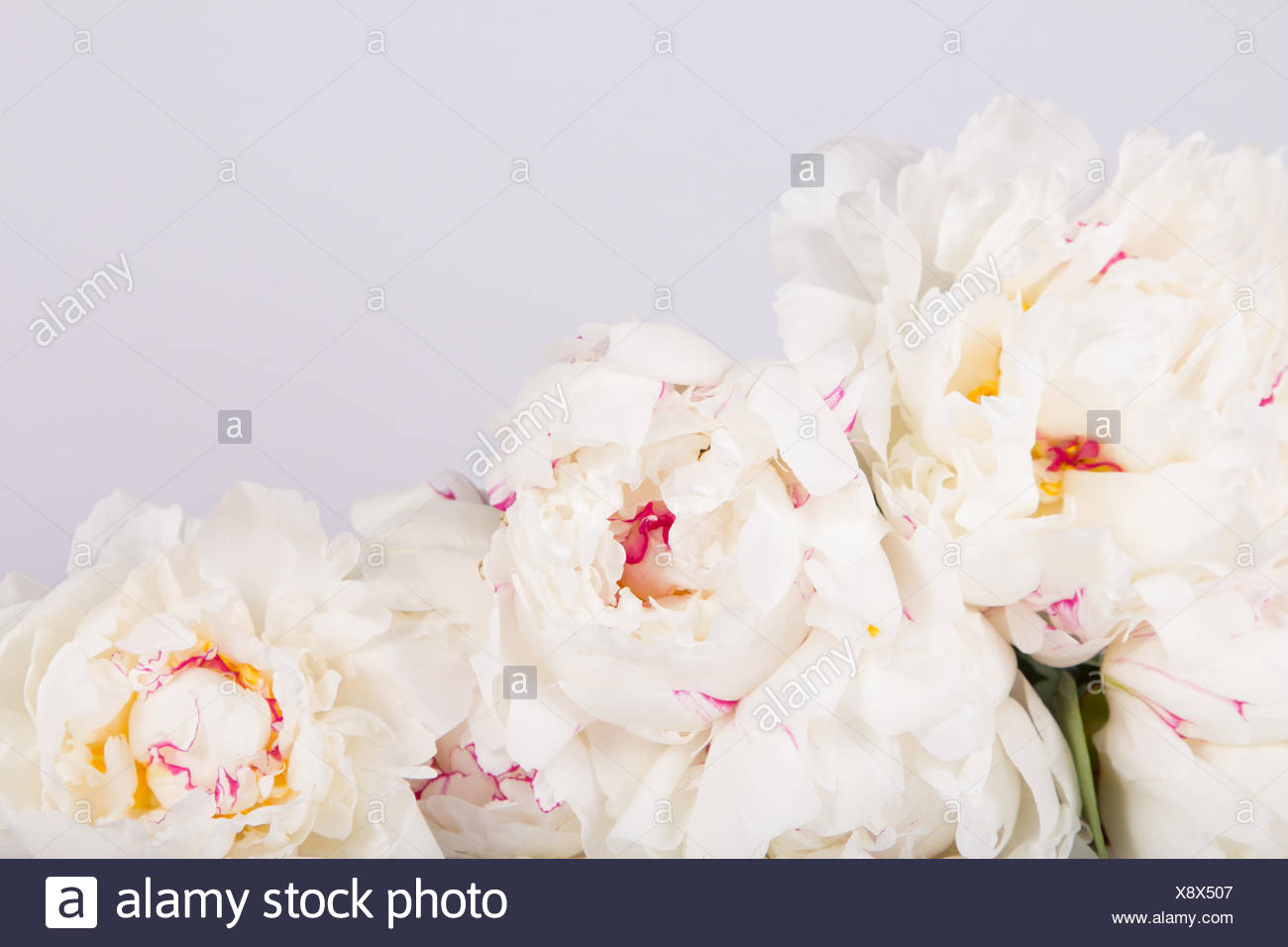 White Peonies Against White Background - Stock Image