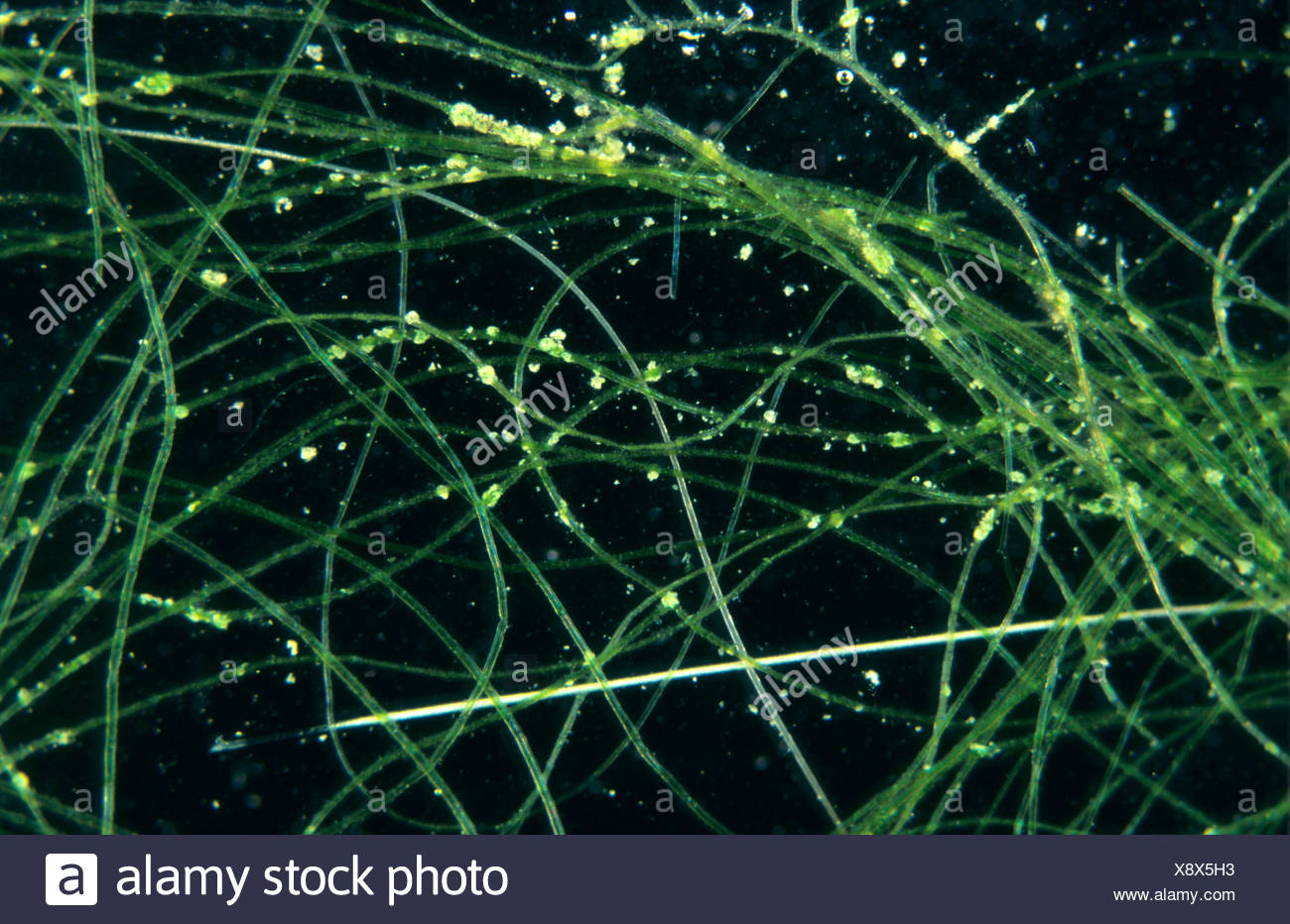 Photomicrograph of blanket weed filaments - Stock Image