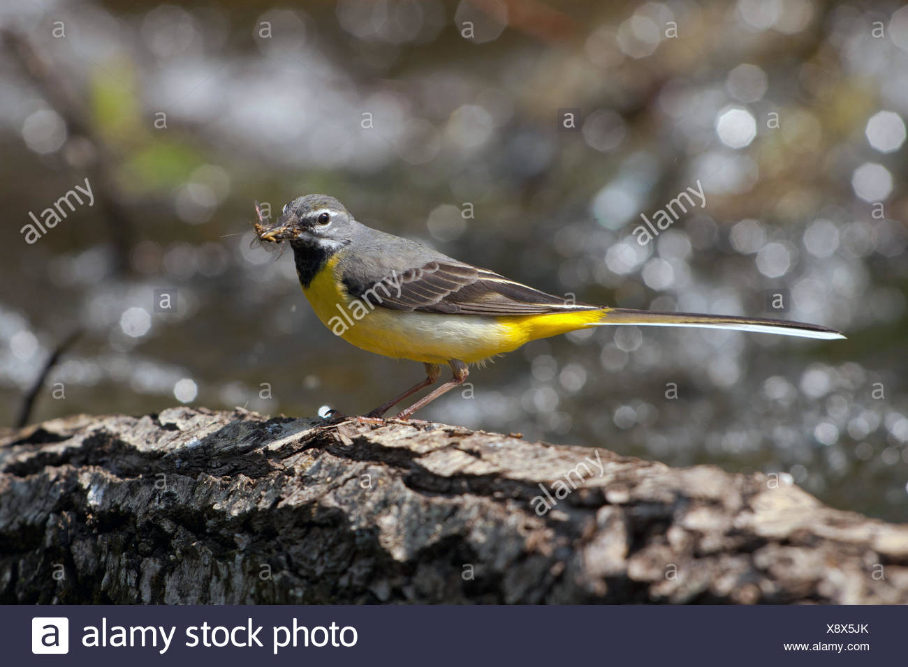 grey wagtail (Motacilla cinerea), male with mayfly in its beak, Germany, Bavaria - Stock Image