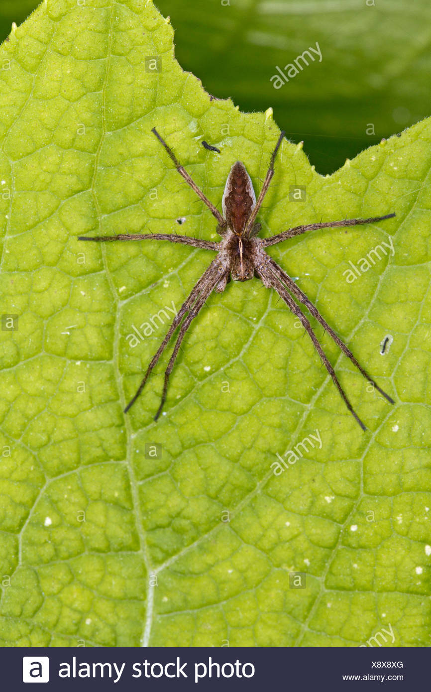 nursery web spider, fantastic fishing spider (Pisaura mirabilis), sunbathing, Germany, Mecklenburg-Western Pomerania - Stock Image