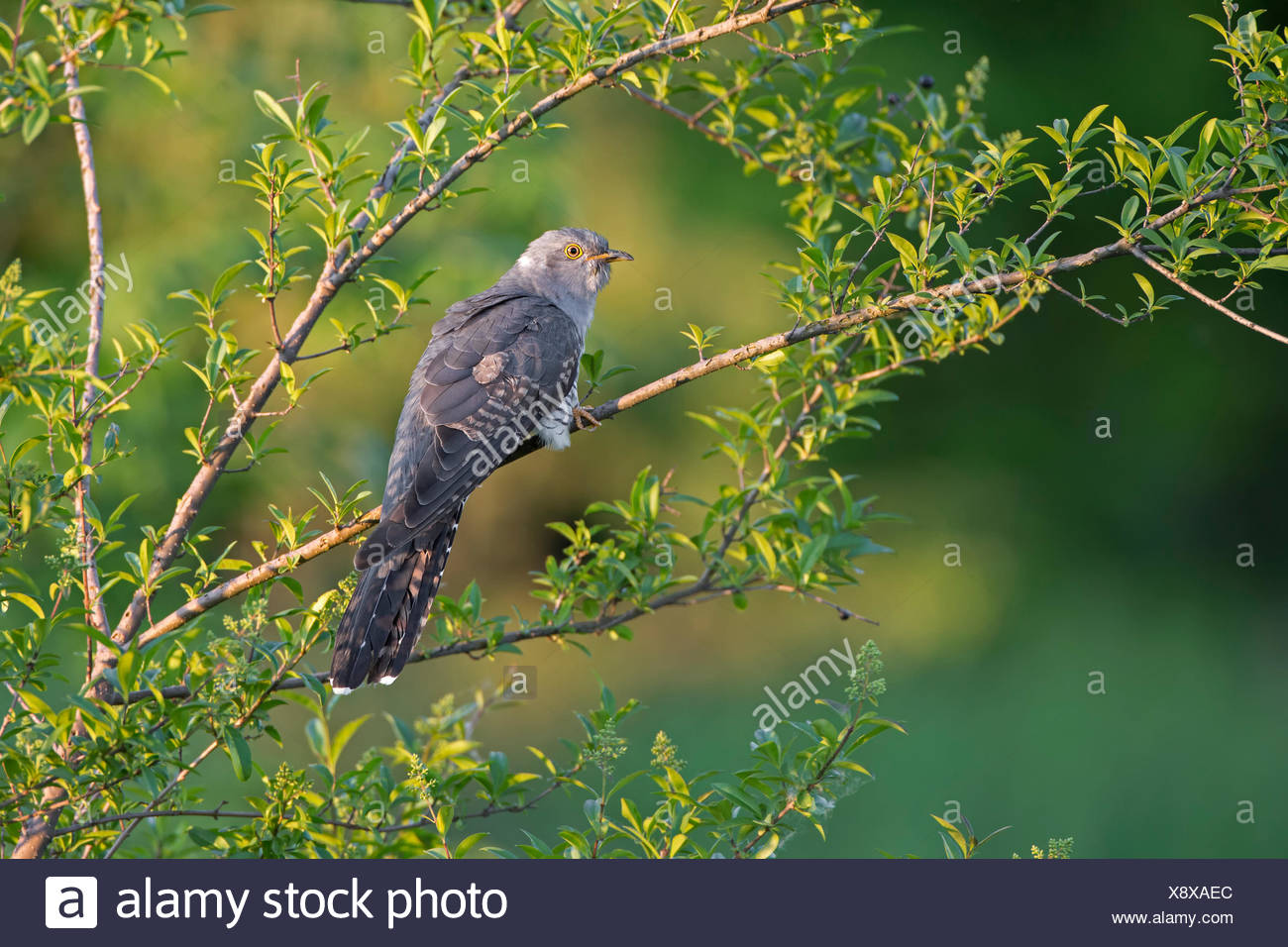 Cuckoo (Cuculus canorus), Saxony-Anhalt, Germany - Stock Image
