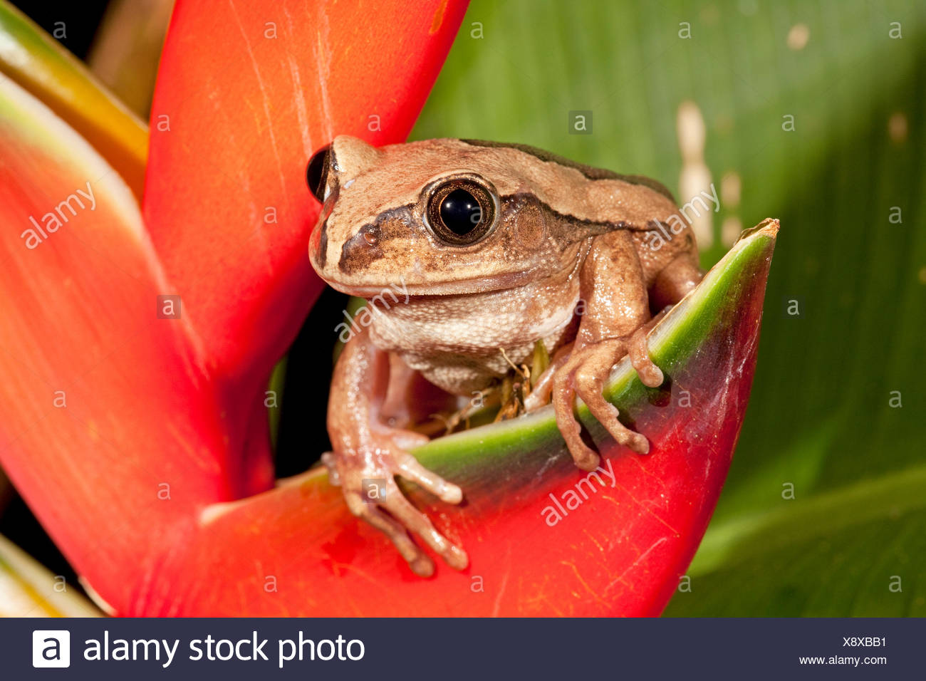 Photo of a brown-backed tree frog - Stock Image