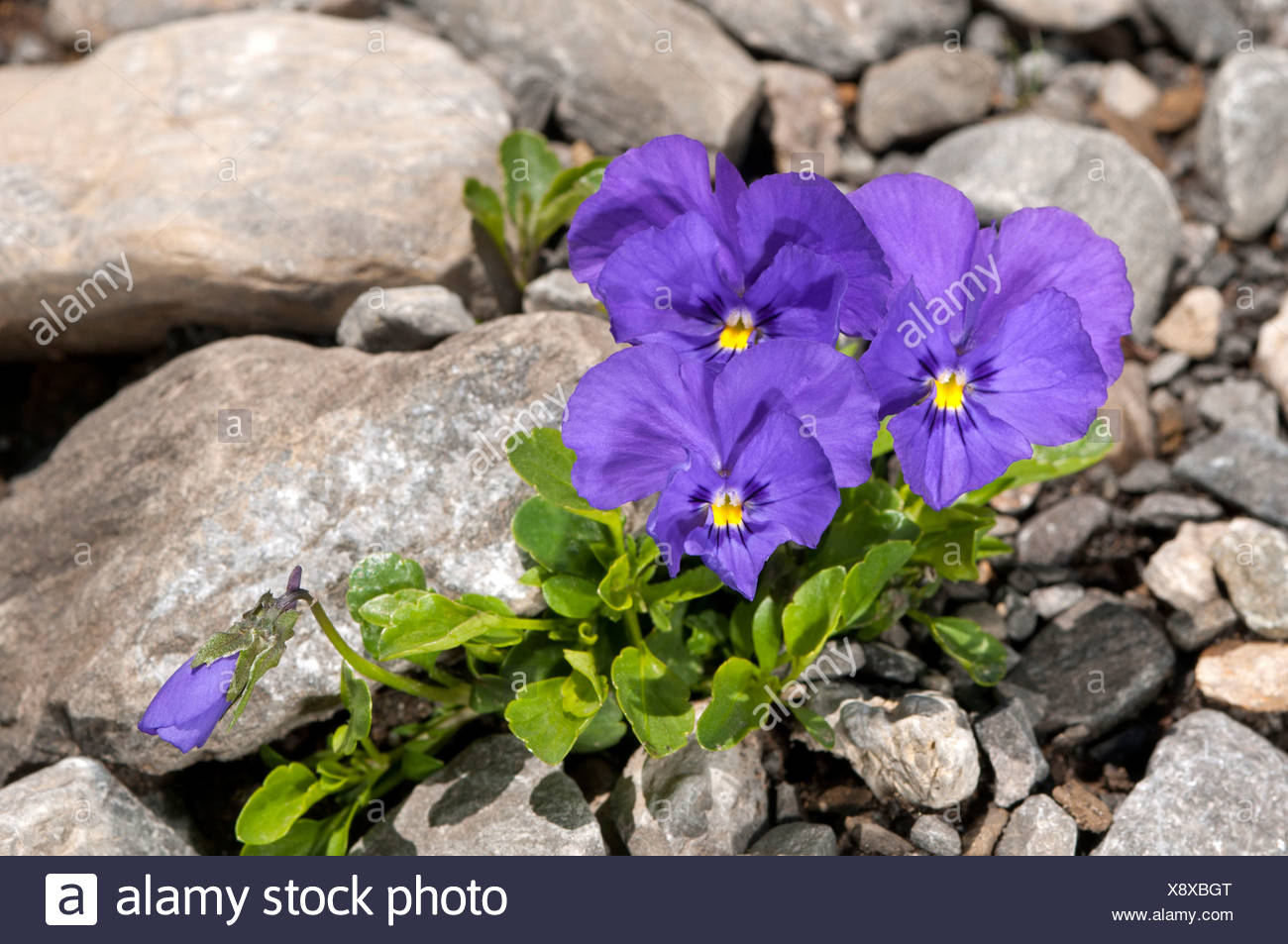 Mont-Cenis violets or pansies (Viola cenisia), Sanetschpass, Switzerland - Stock Image