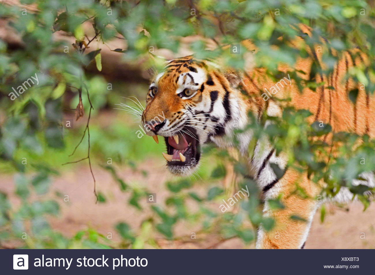 Siberian tiger, Amurian tiger (Panthera tigris altaica), portrait of a snarling Siberian tiger - Stock Image
