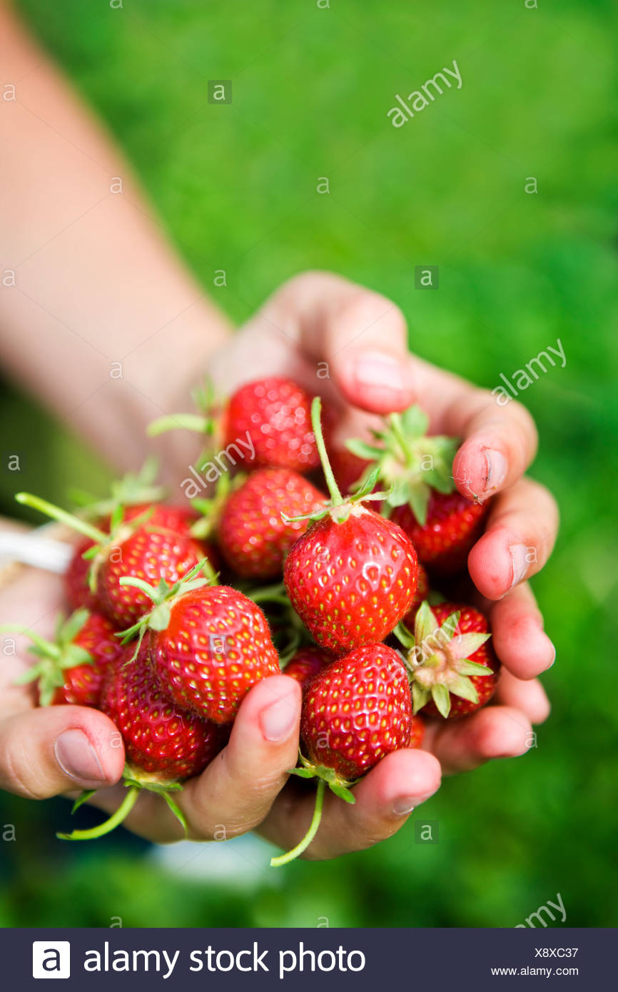 Cupped hands with strawberries - Stock Image
