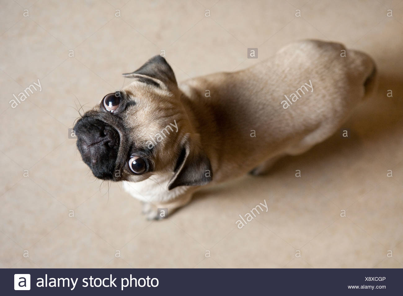 A pug puppy on the floor paying attention to the camera - Stock Image