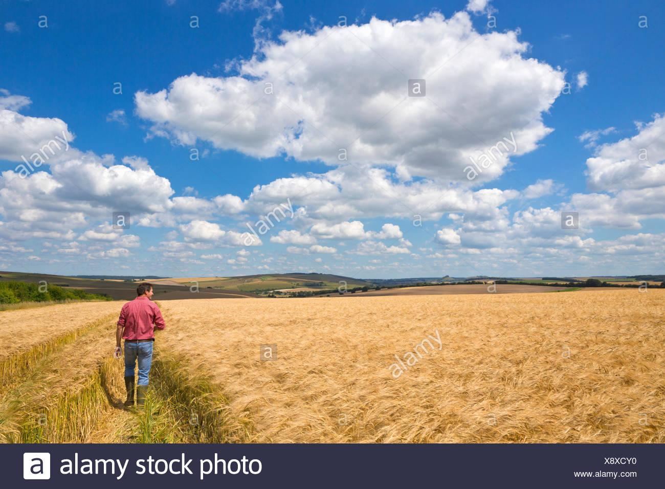 Farmer walking through sunny rural barley crop field in summer - Stock Image