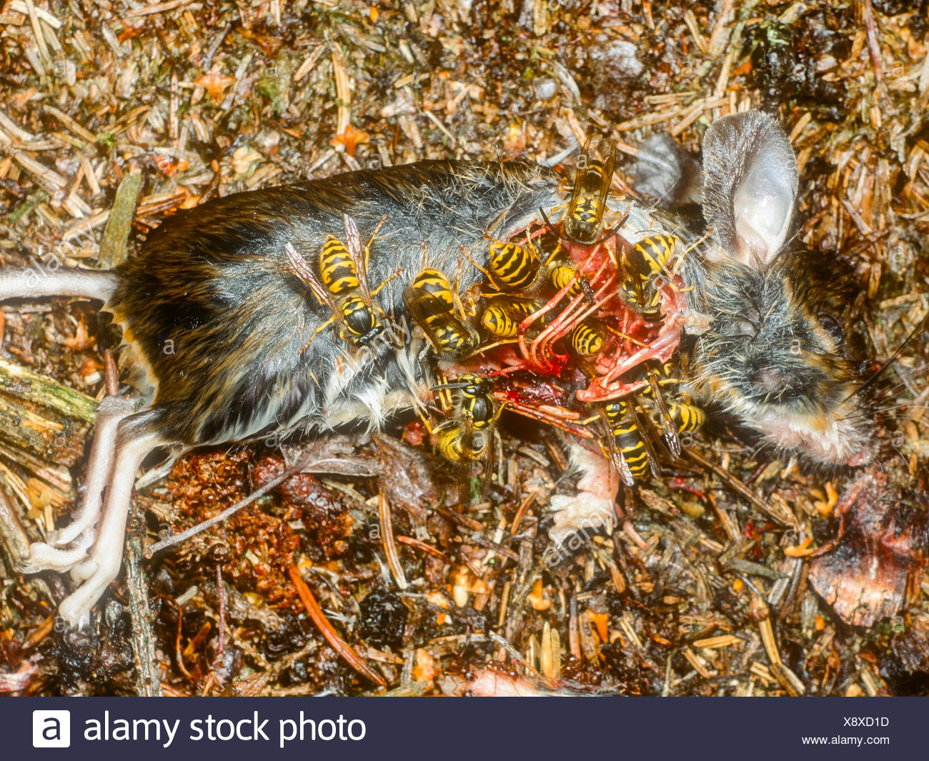 Saechsische Wespe (Dolichovespula saxonica, Vespula saxonica), Wespen fressen an toter Maus, Deutschland | Saxon wasp (Dolichove - Stock Image