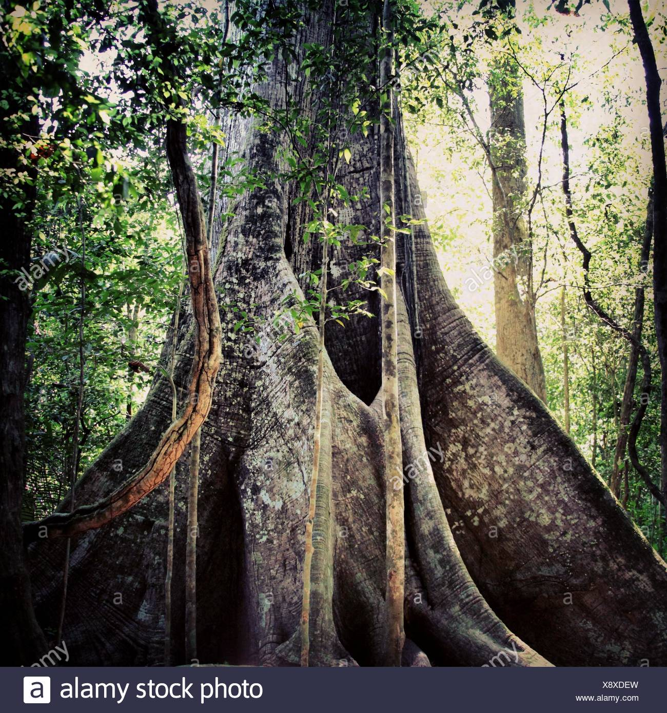 Brazil, Amazon region, Biggest tree of Amazon - Stock Image