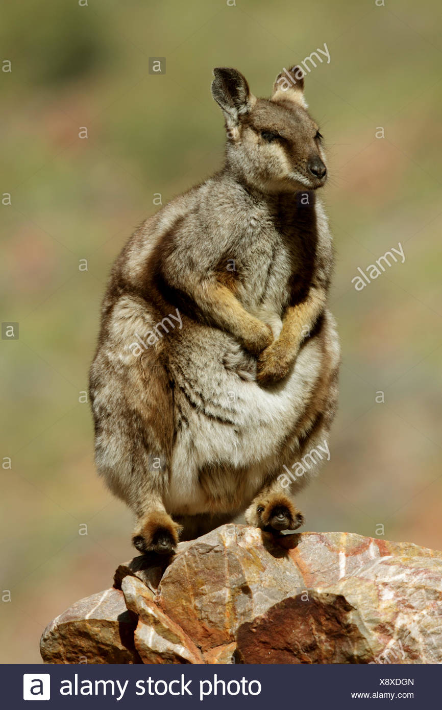 Black-footed rock wallaby (Petrogale lateralis), sitting on a rock, Australia, Northern Territory, Western MacDonnell Ranges - Stock Image