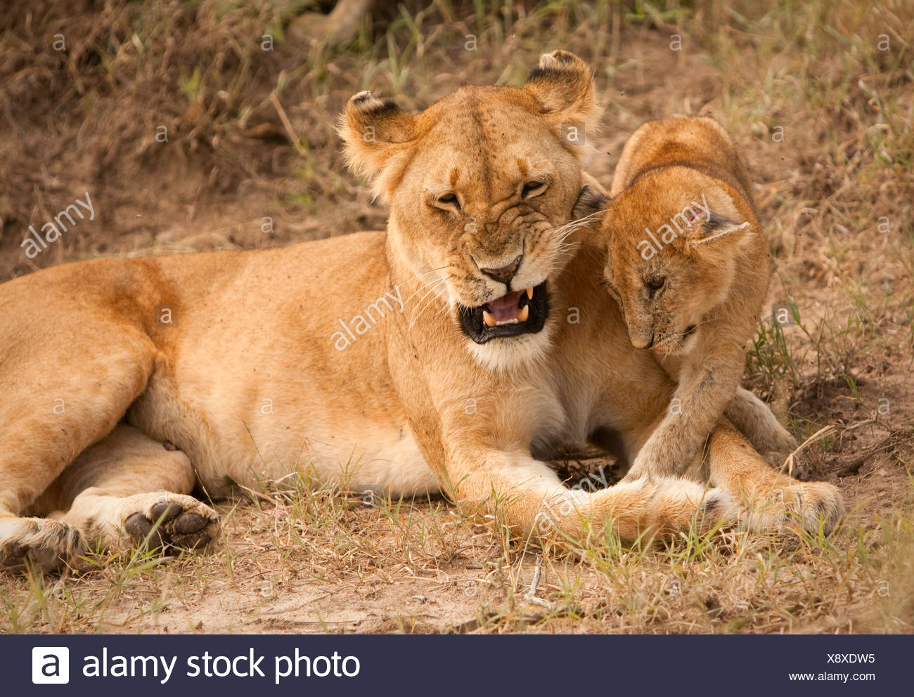 Mother Lion plays with her cub on Masai Mara. - Stock Image
