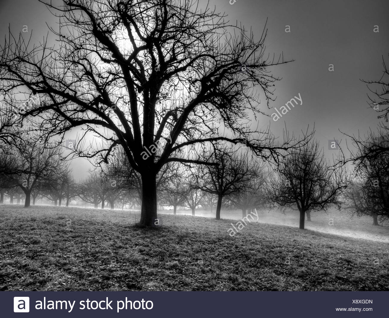 Switzerland, Europe, canton Zurich, trees, fruit-trees, fog, autumn, grief, - Stock Image