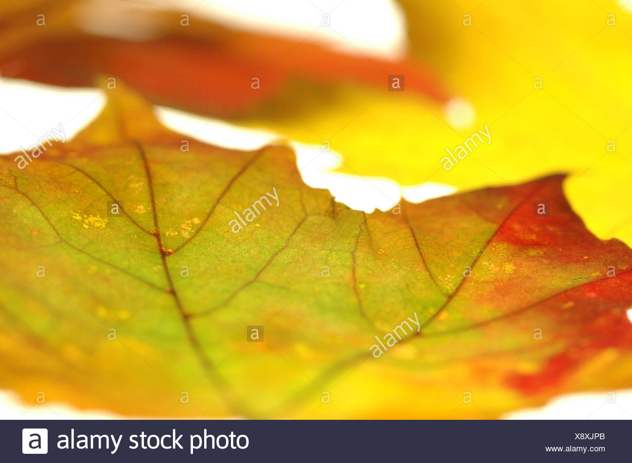 Maple leaves, close up - Stock Image