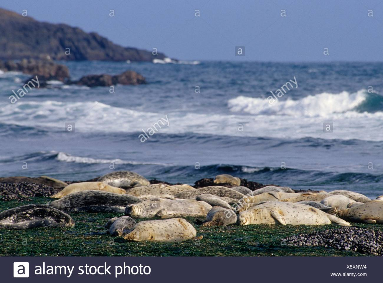 Harbor seal (Phoca vitulina) haul out, Marine Gardens State Park, Oregon. - Stock Image
