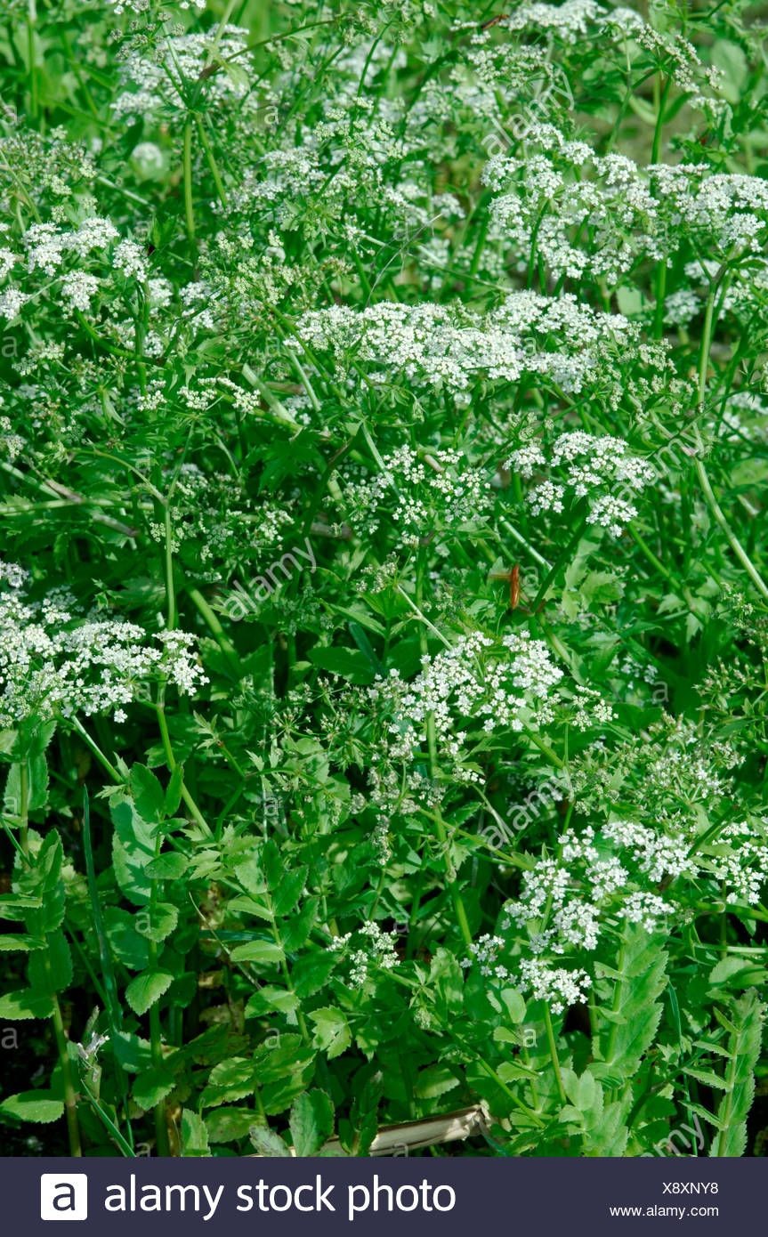 LESSER WATER-PARSNIP Berula erecta (Apiaceae) Stock Photo