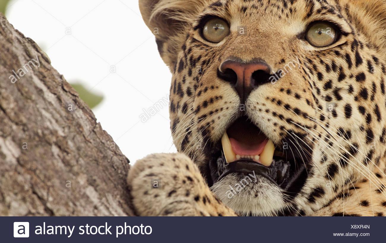 92712f8a71 A leopard stalks prey in tree in Botswana. leopard (Panthera pardus) is  member Felidae family smallest four  big cats  in genus