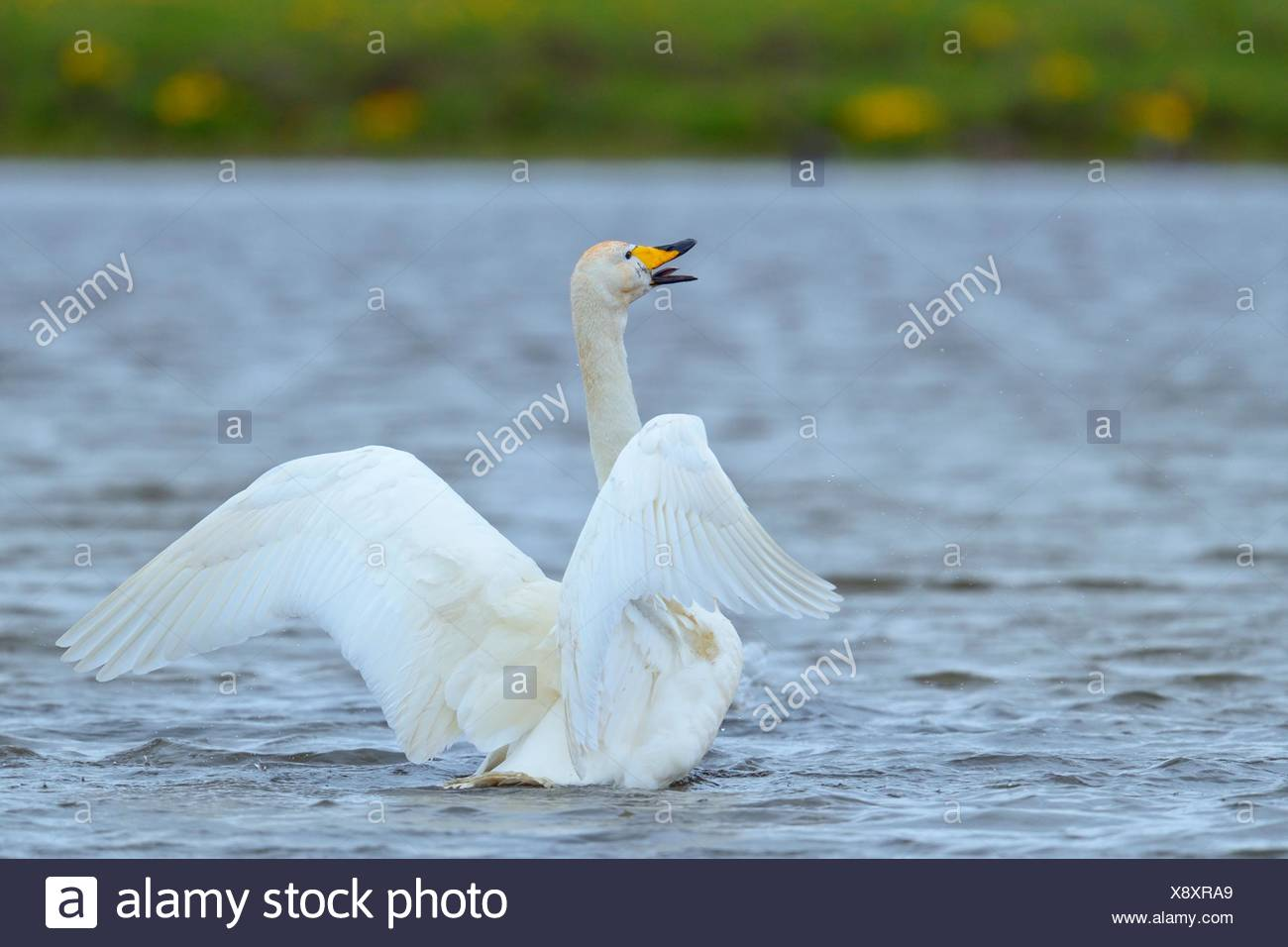 Whooper swan (Cygnus cygnus), flapping wings, Southern Region, Iceland Stock Photo