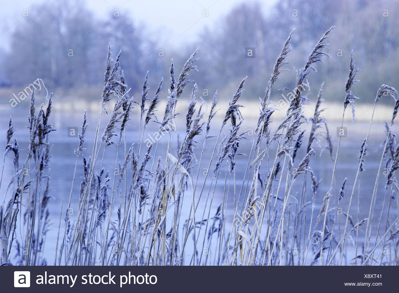 Reed grass, frost, detail, outside, grass, ice, hoarfrost, froze, lake, winter, shore, pond, grass, reed, cold, water, nature, plants, lakesides, pond shores, waters, icily, frosty, - Stock Image