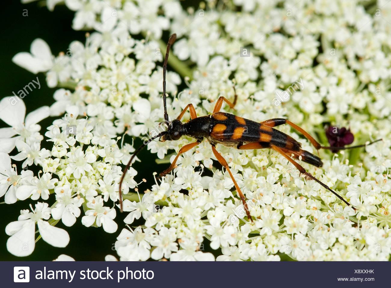 Long-horned beetle (Strangalia attenuata, Typocerus attenuata, Leptura attenuata), on blossoms, Germany - Stock Image