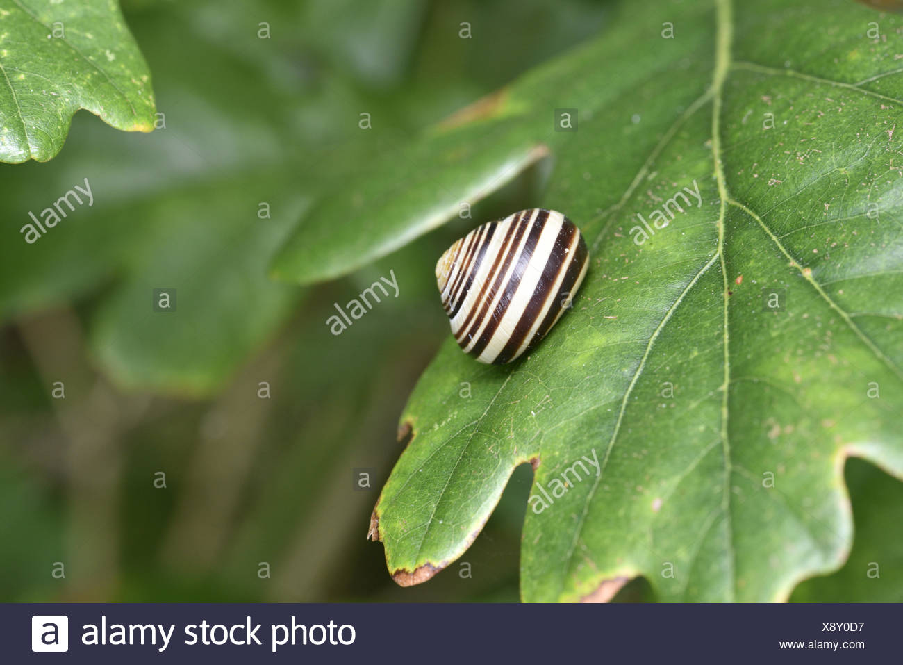 Brown-lipped Snail - Cepaea nemoralis - Stock Image