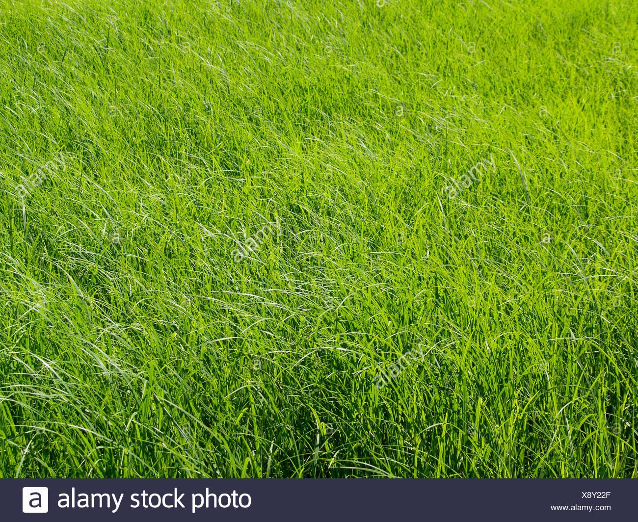 Wiese, Grashalme, Sonnenlicht, Natur, Pflanzen, Gras, Wachstum, wachsen, spriessen, frisch, sonnig, sommerlich, hell, Graeser, D - Stock Image