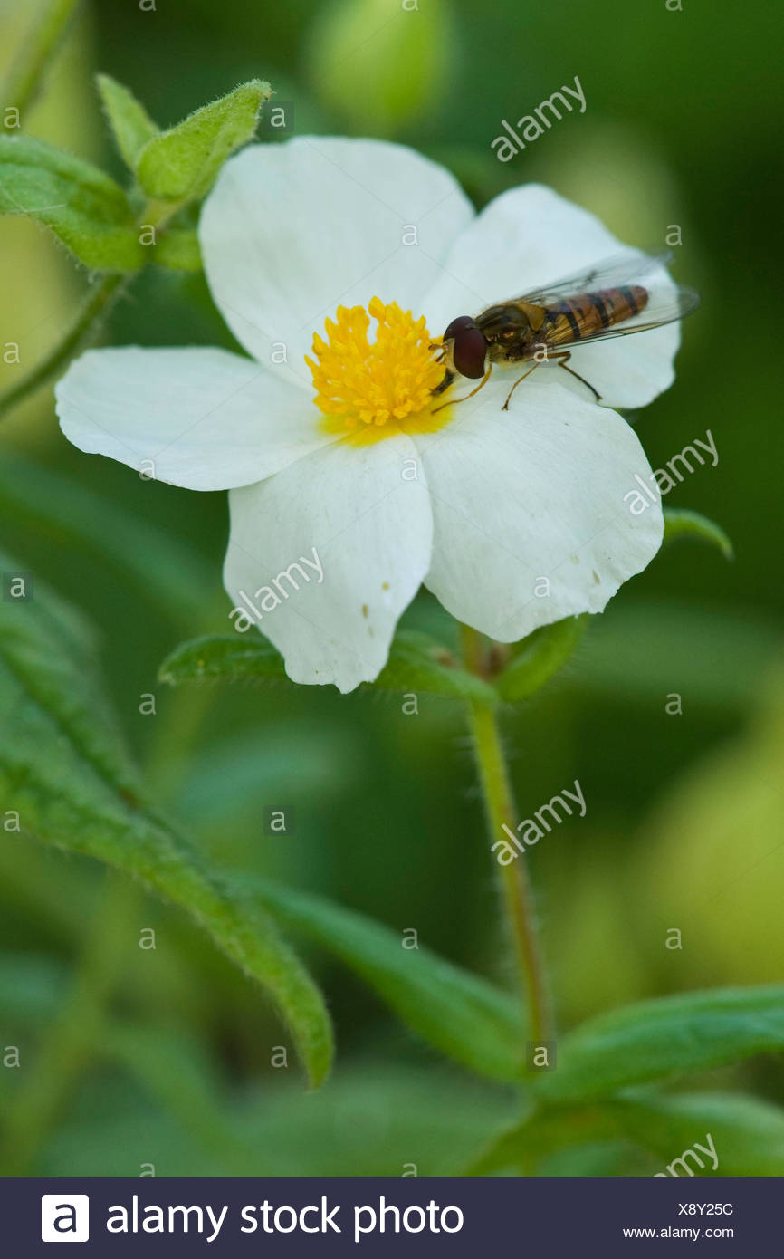 Rock Rose (Cistus inflatus), with hoverfly - Stock Image