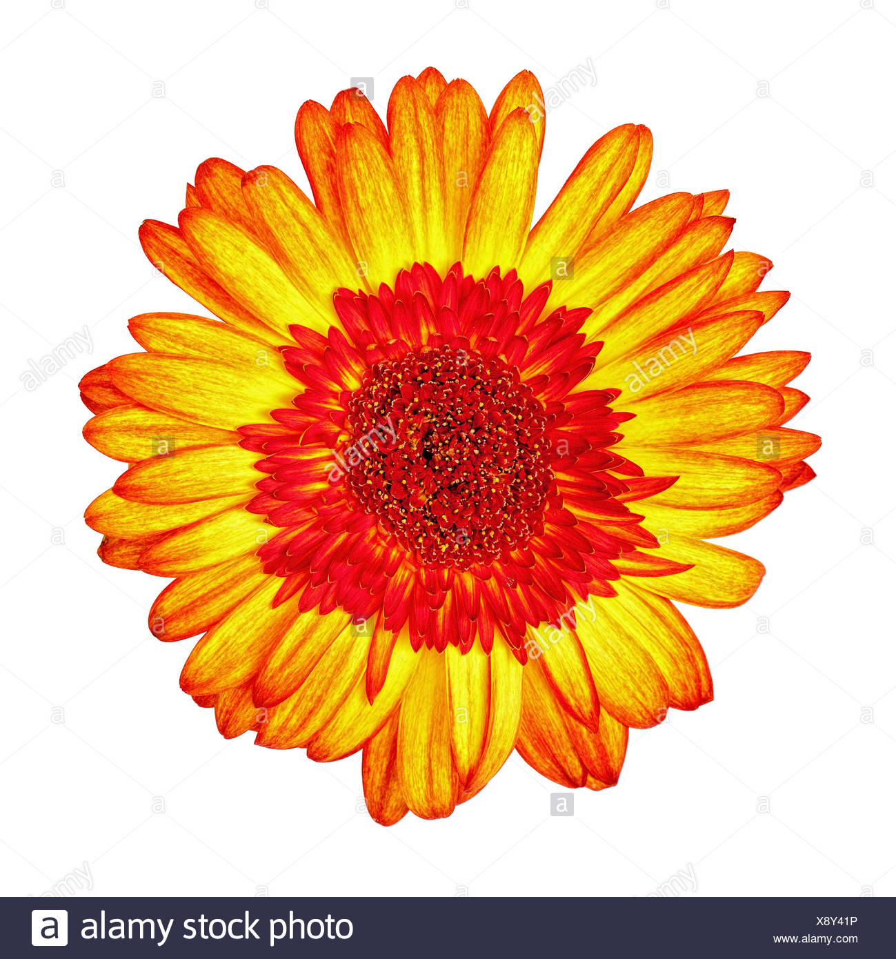 Yellow-Red Gerbera Flower Isolated Stock Photo