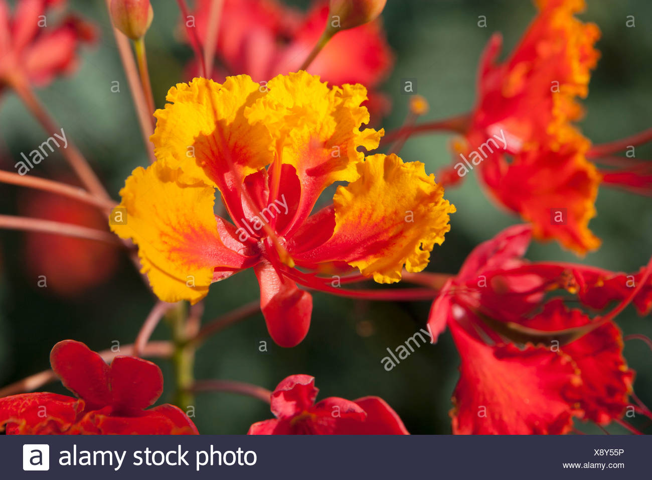 Close up of mexican bird of paradise caesalpinia pulcherrima close up of mexican bird of paradise caesalpinia pulcherrima flowers palm springs california united states of america mightylinksfo