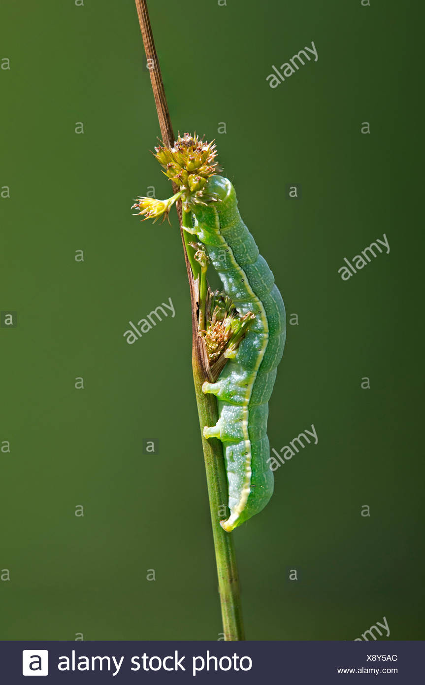 Clouded Drab (Orthosia incerta), caterpillar, Versoix, Canton of Geneva, Switzerland - Stock Image