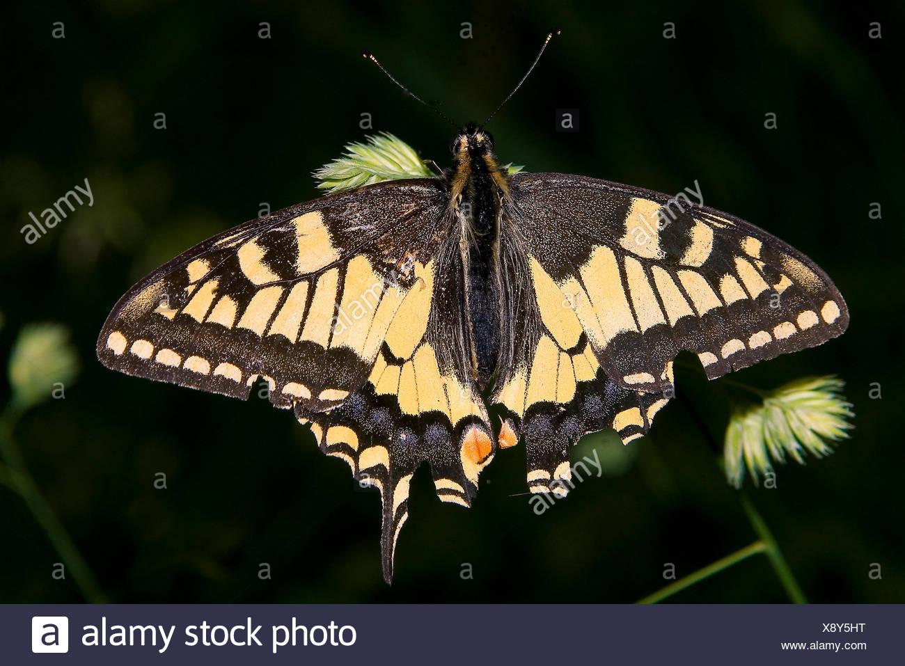 insect butterfly swallowtail edelfalter tagfalter lepidoptera papillione - Stock Image