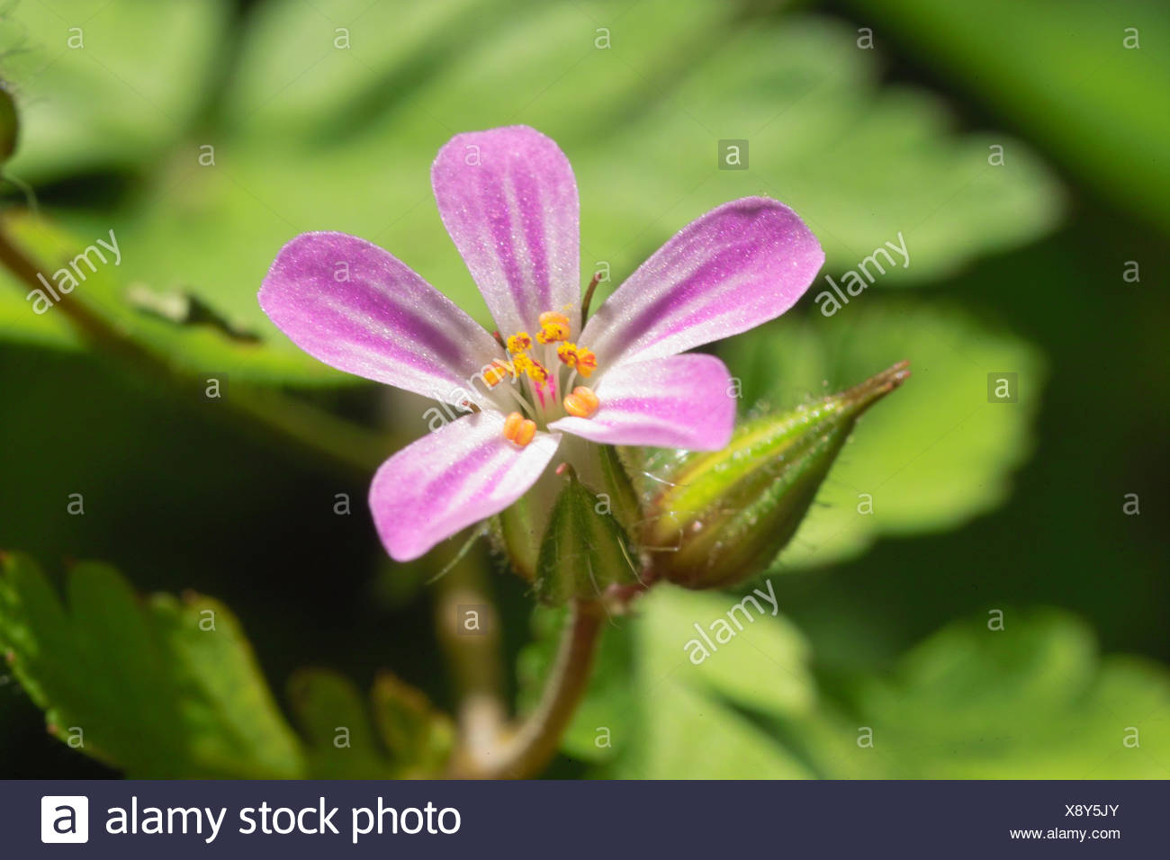 usually stink cranesbill - Stock Image