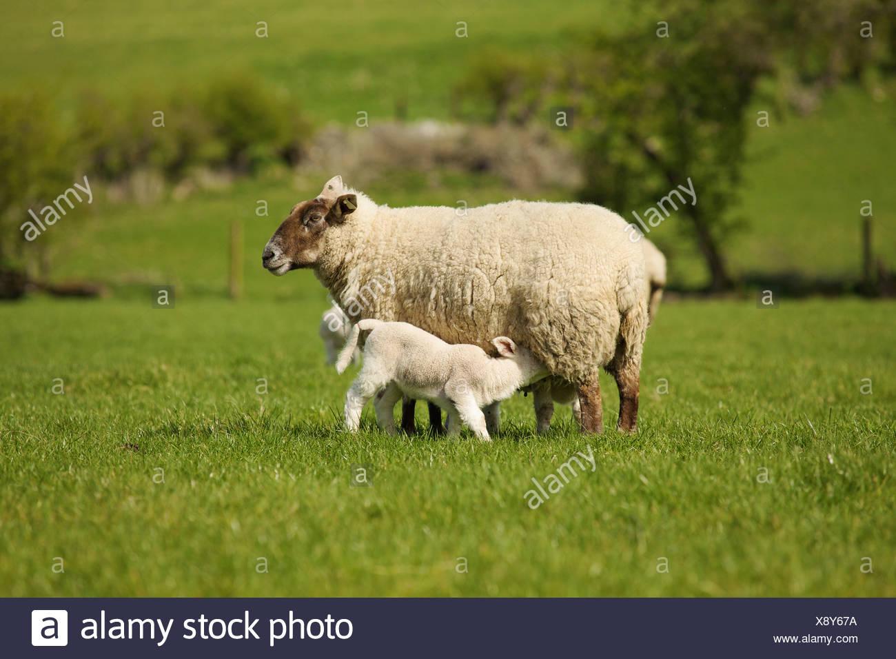Lamb Nursing From Mother Sheep; Dublin County Dublin Ireland - Stock Image