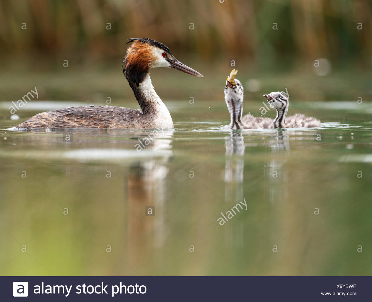 Great crested grebes (Podiceps cristatus) with young birds in the lake, feeding, Baden-Württemberg, Germany - Stock Image