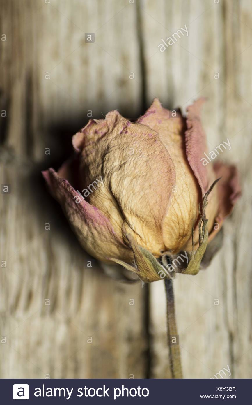 Close-Up Of Dried Flower - Stock Image