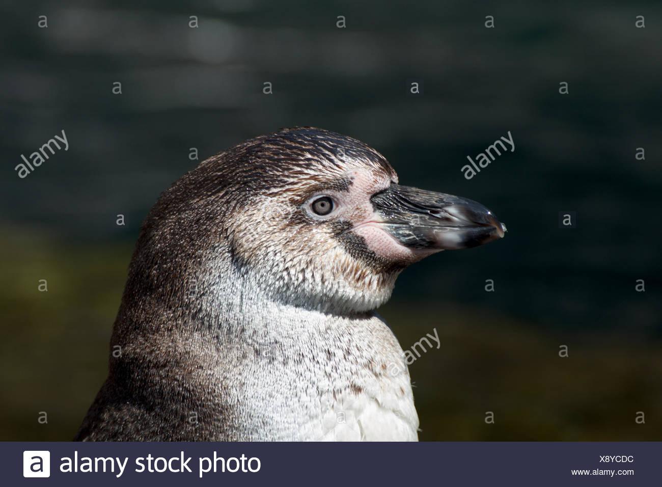 humboldt penguin close Stock Photo