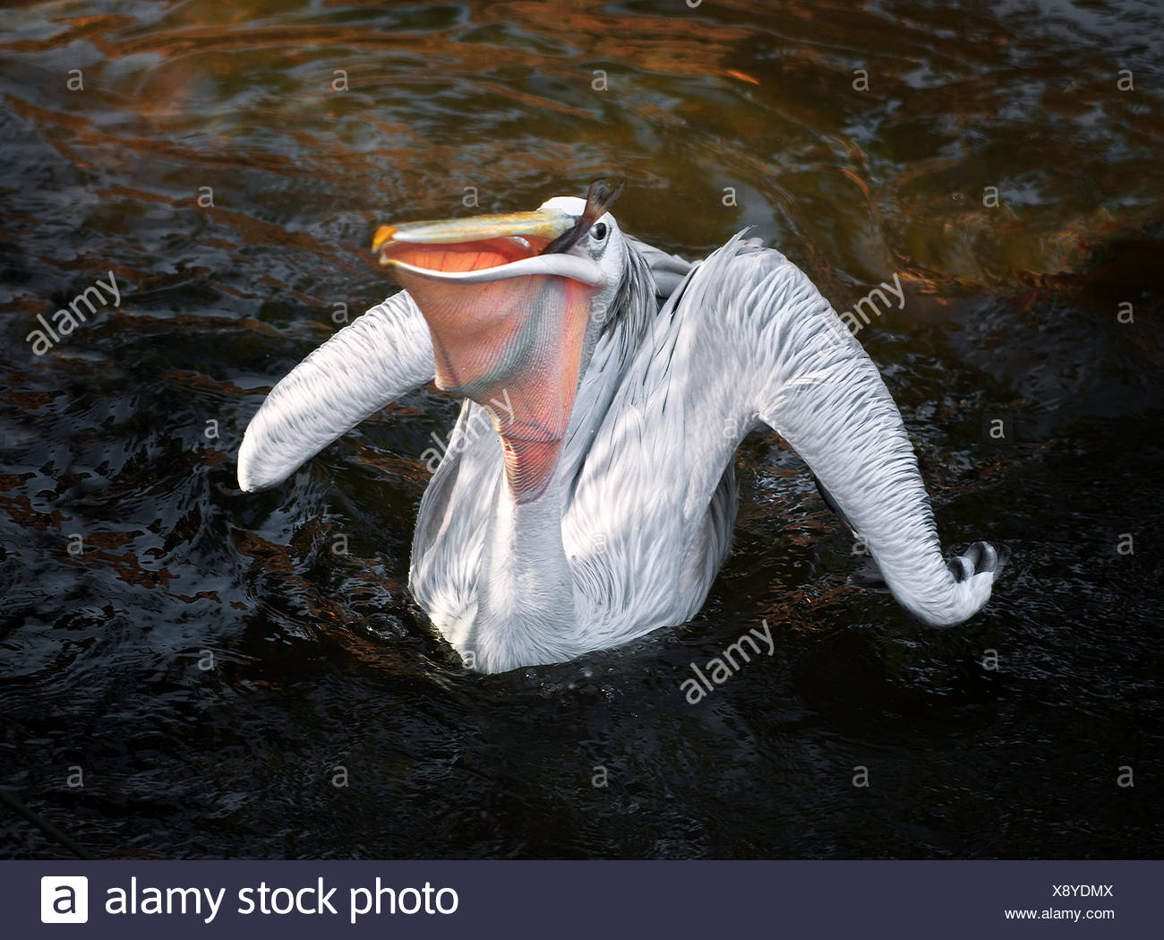 Pelican (Pelecanus onocrotalus) on water with fish in beak - Stock Image