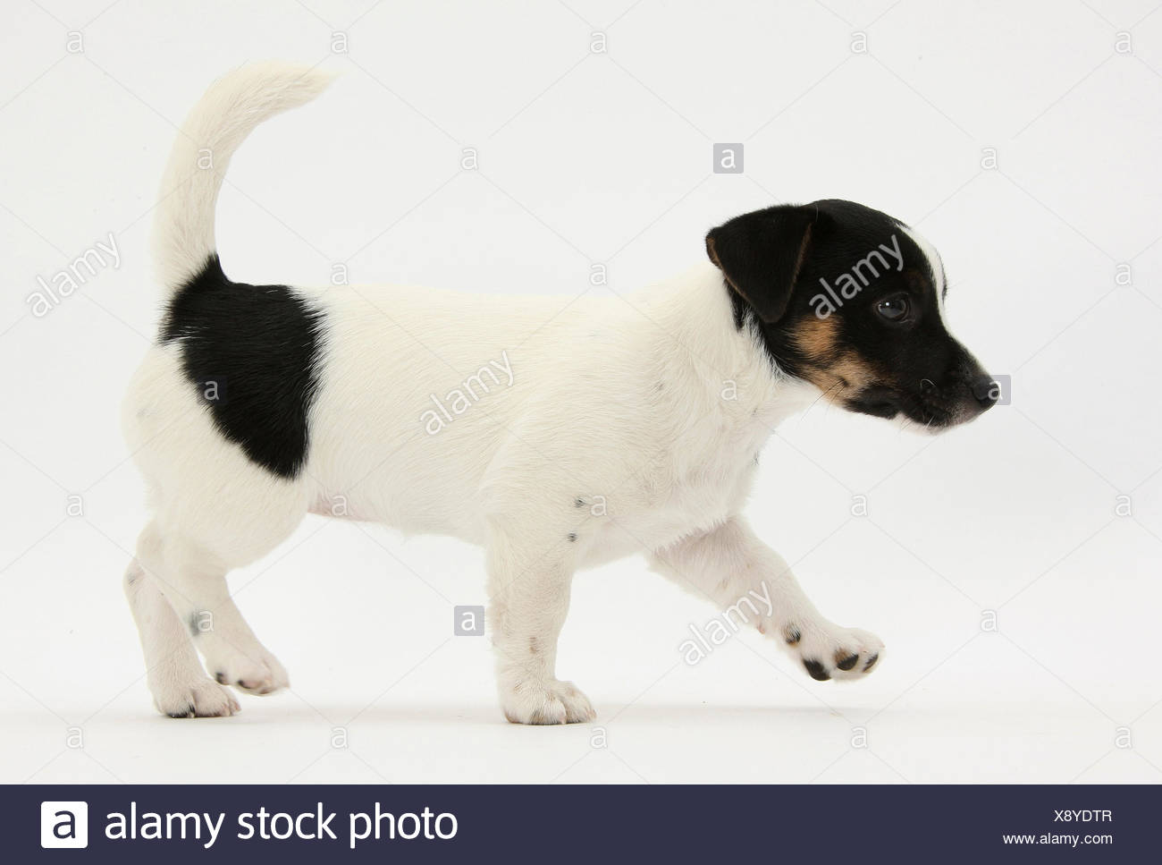 Smooth coated black and white, Jack Russell Terrier puppy, aged 9 weeks, walking. - Stock Image