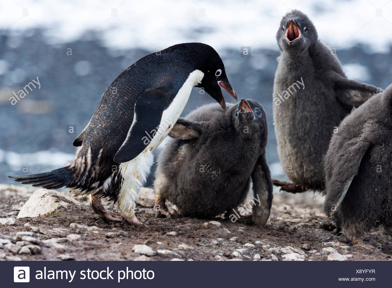 Adelie Penguin chicks begging for food from a parent in a creche. - Stock Image