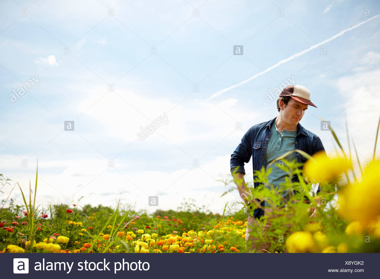 A farmer working in his fields in New York State. A yellow and orange organically grown flower crop. - Stock Image