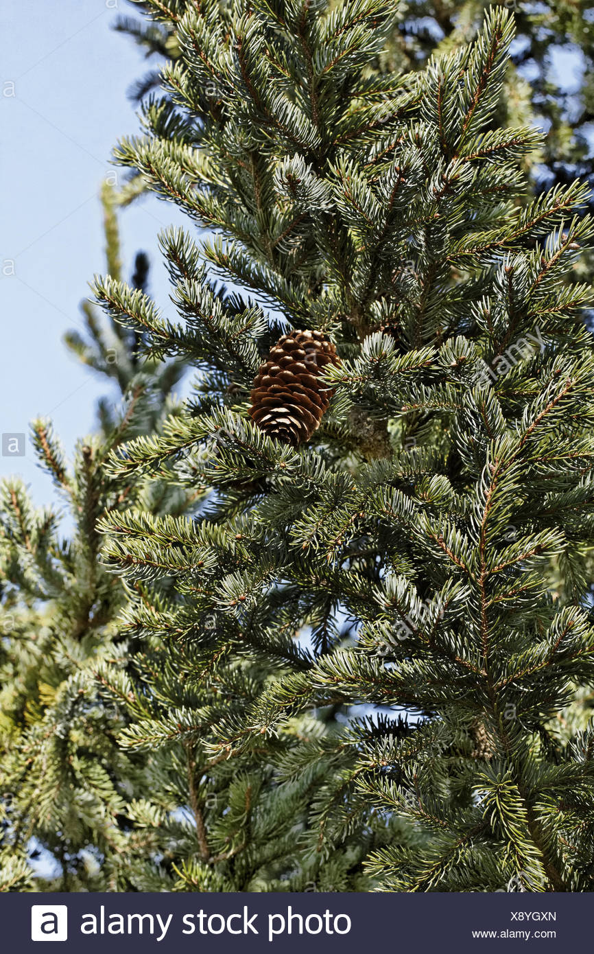 Yedofichte Picea jezoensis