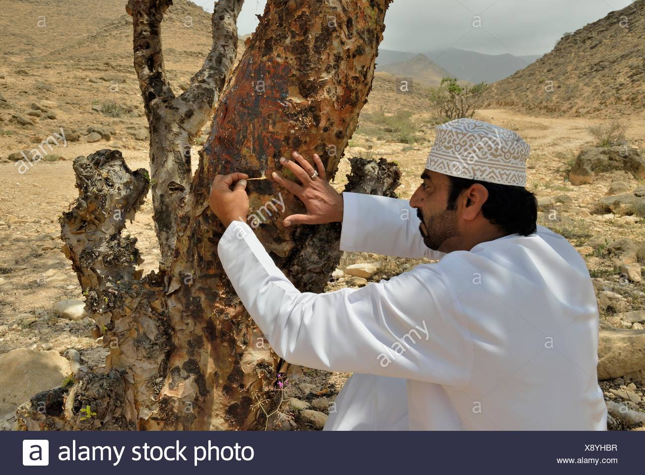 Local man harvesting the precious resin of an Frankincense Tree (Boswellia sacra), near Mughsayl, Dhofar Region, Orient, Oman Stock Photo