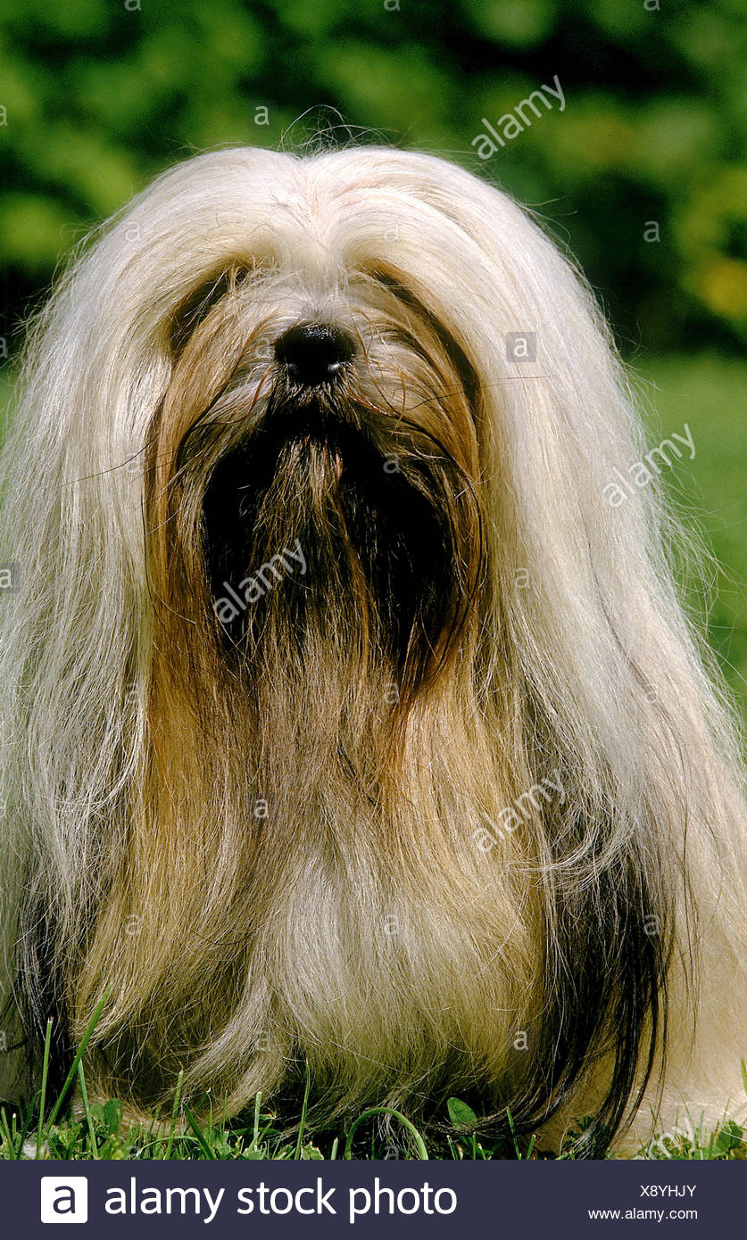 LHASSA APSO OR LHASA APSO DOG, ADULT SITTING ON GRASS - Stock Image