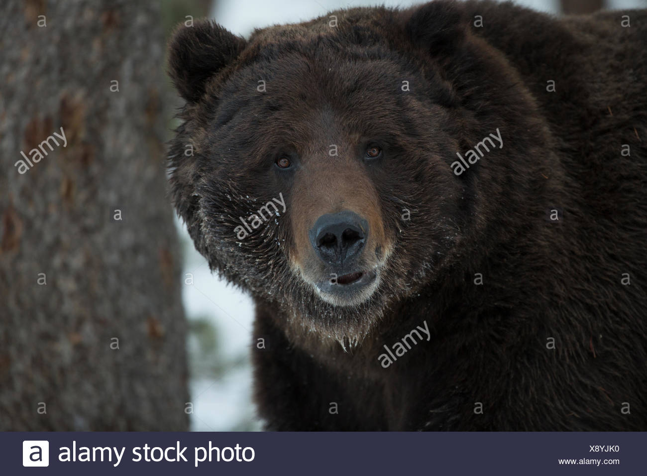 A grizzly bear, Ursus arctos horribilis, in Yellowstone National Park. - Stock Image