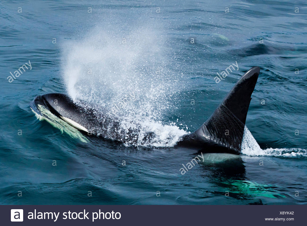 Orca Blowhole Stock Photos Orca Blowhole Stock Images Alamy