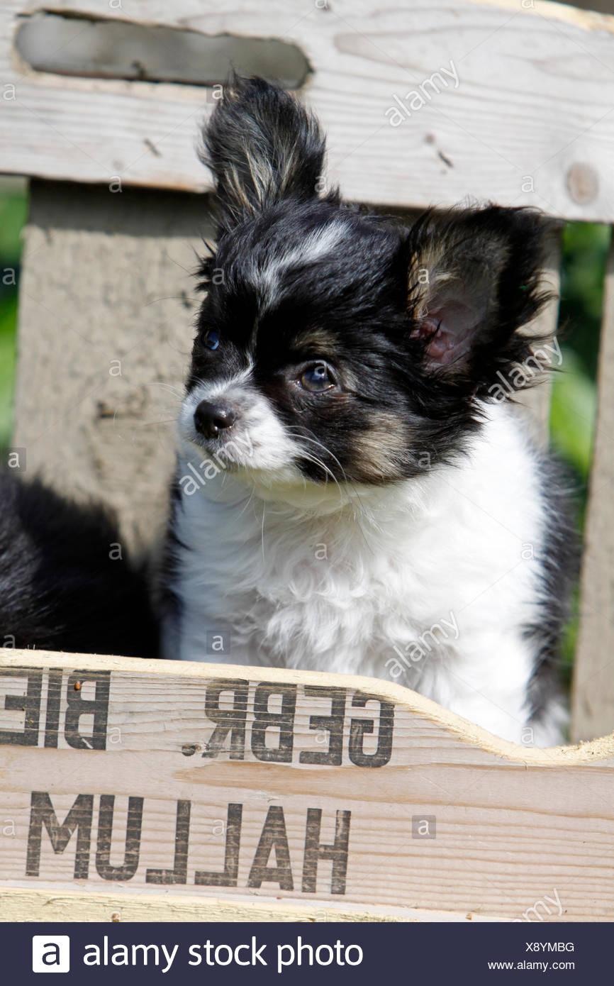 animal pet dog puppy young animal animal pet dog puppy young animal lap dog lapdog chihuahua kleinhund junghund chihuahua - Stock Image