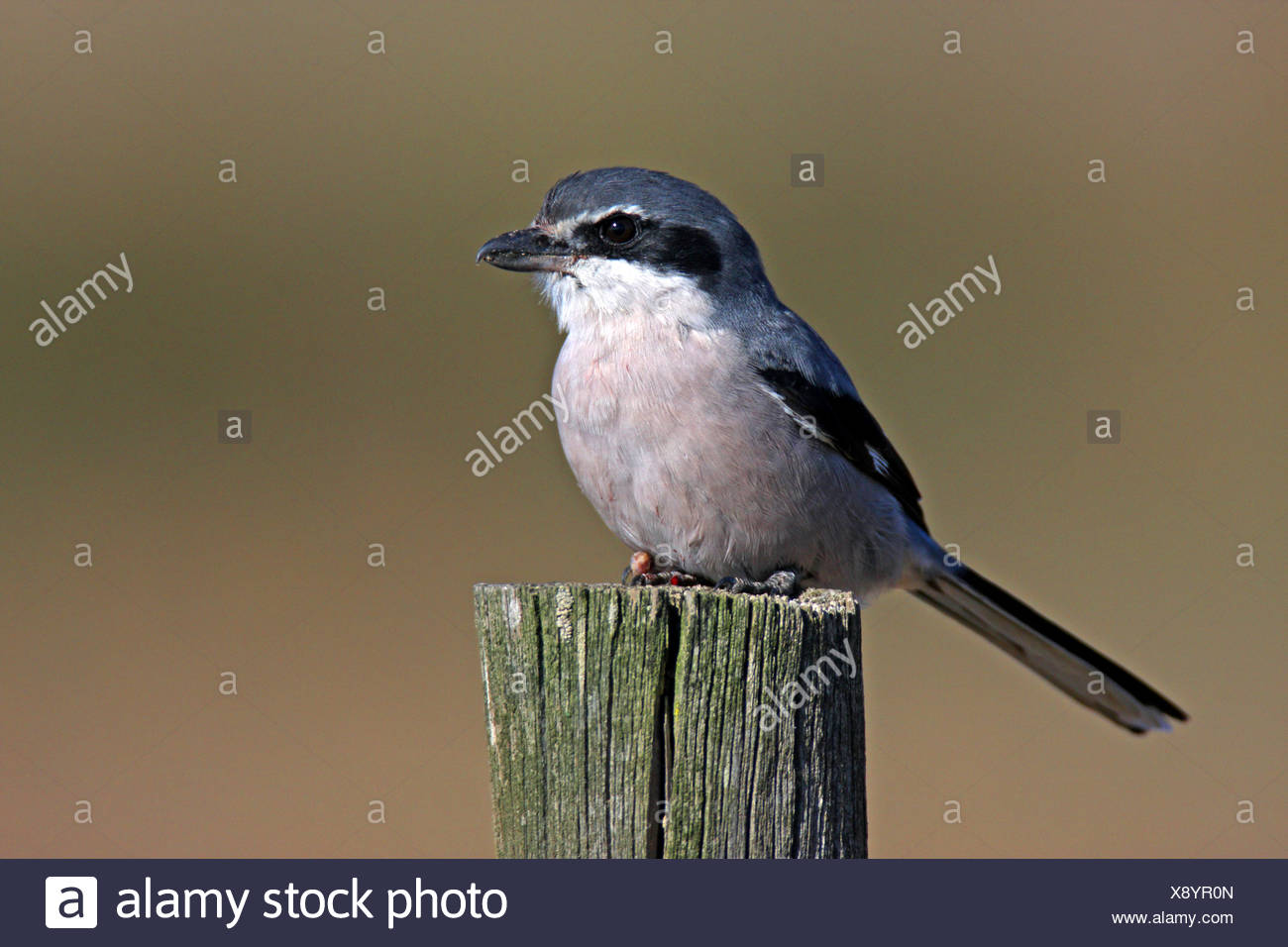 Southern Grey Shrike (Mittelmeer-Raubwuerger), sitting on a wooden post, Spain, Extremadura - Stock Image