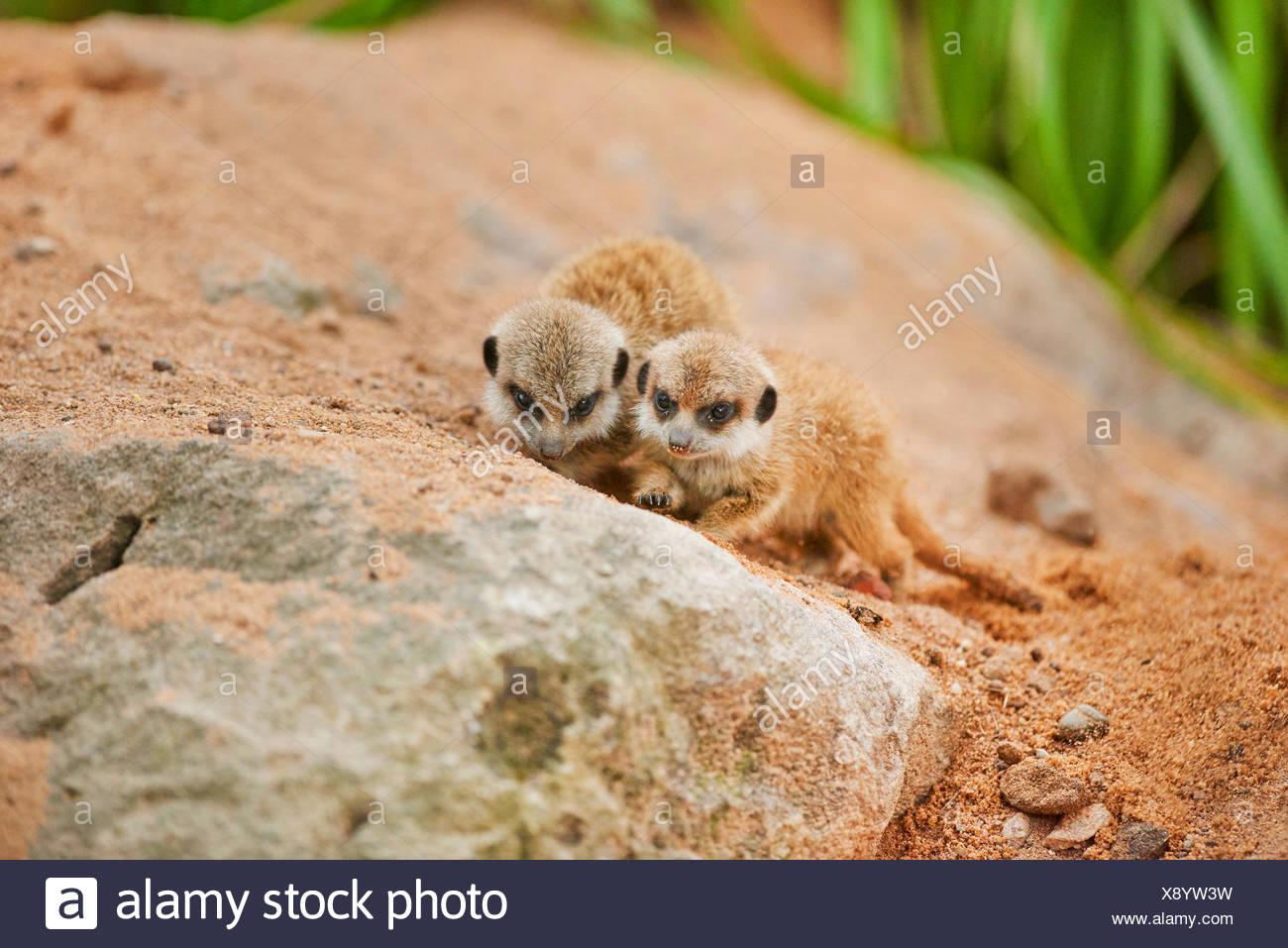 suricate, slender-tailed meerkat (Suricata suricatta), two youngsters - Stock Image