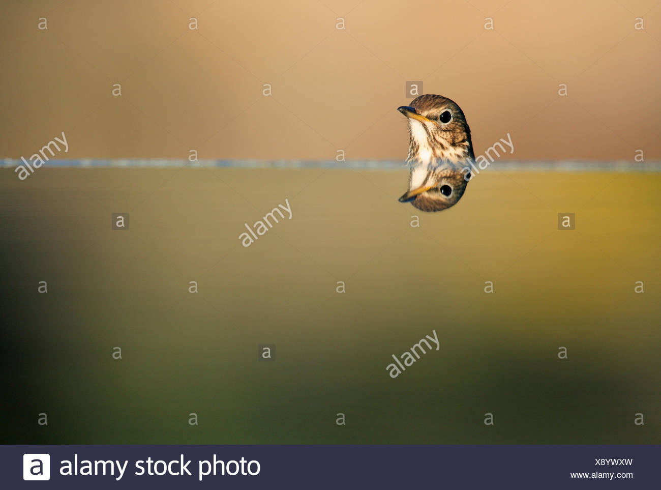 Song thrush {Turdus philomelos} head with reflection, Spain - Stock Image