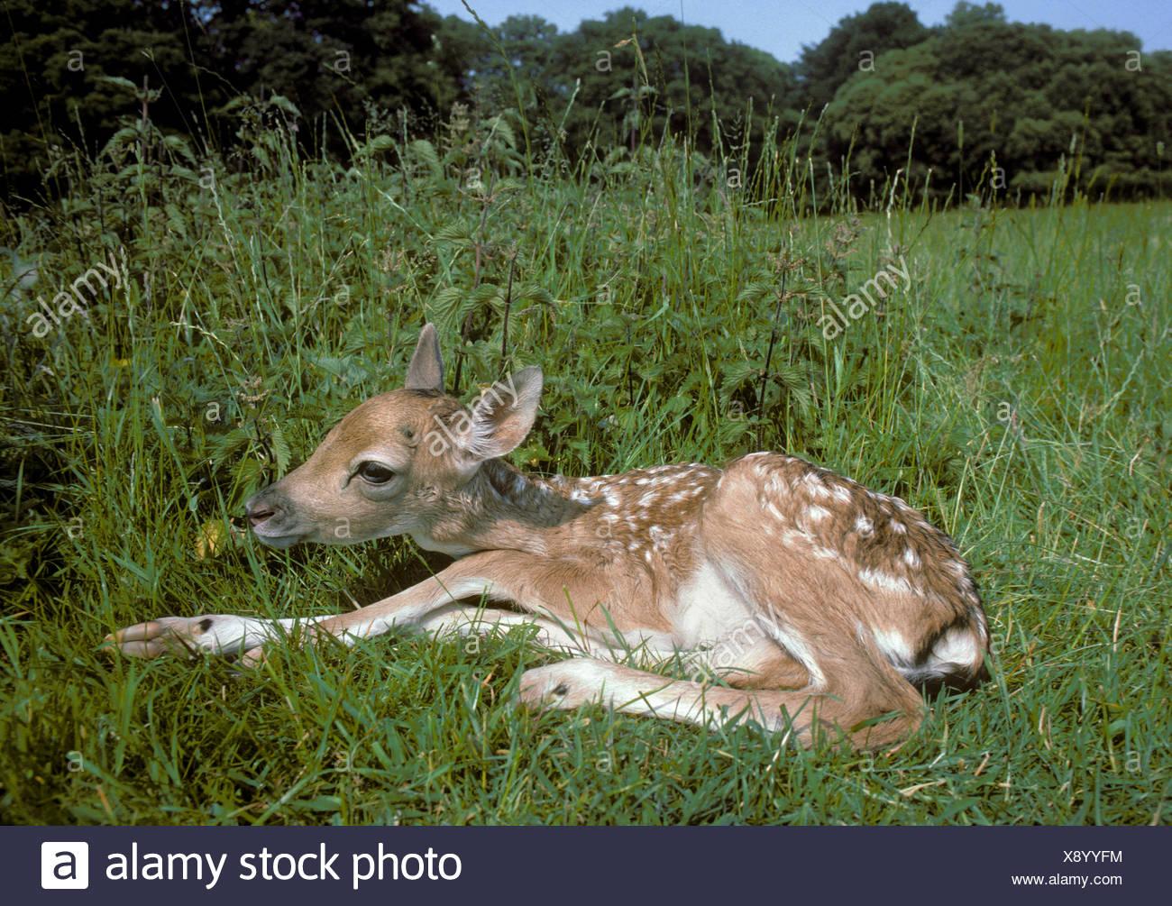 Fallow Deer fawn - Dama dama - Stock Image