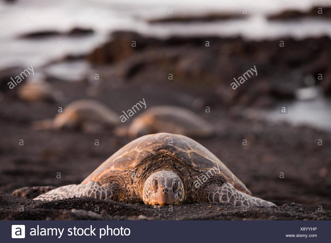 Big Island,tortoise,Punaluu,Black sand Beach,Big Island,USA,Hawaii,America,animals,animal,Volcanical,lava, - Stock Image